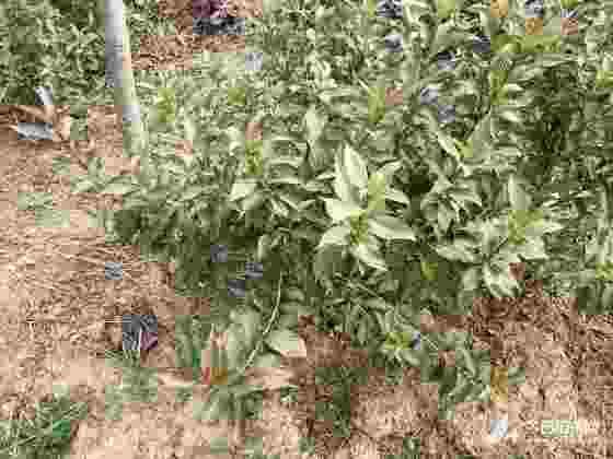 丛生红王子锦带苗价格 丛生红王子锦带种植基地
