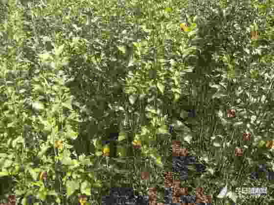 丛生木槿基地 1米丛生木槿价格 沭阳产地直销