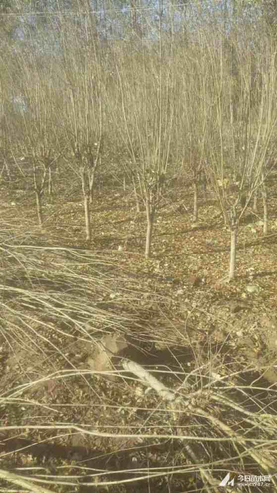 哪里賣石榴樹苗 江蘇基地20公分石榴樹價格