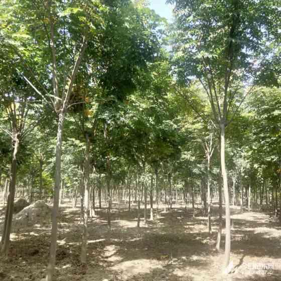 5-15公分欒樹多少錢一棵  欒樹基地供應價格