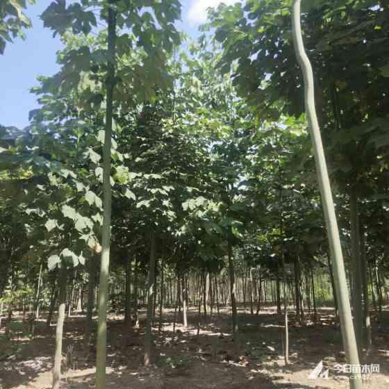 青桐树苗在哪里能买到 15-20-25公分青桐树苗价格