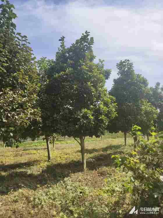 白玉兰树苗哪里有卖的 白玉兰苗木价格