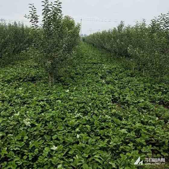 草莓苗多少钱一棵 草莓苗供应 求购草莓苗