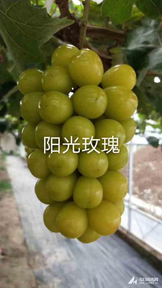 葡萄苗哪里有 山西葡萄苗價格 市場行情