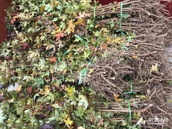 一年生五角枫苗多少钱一棵 哪买五角枫苗