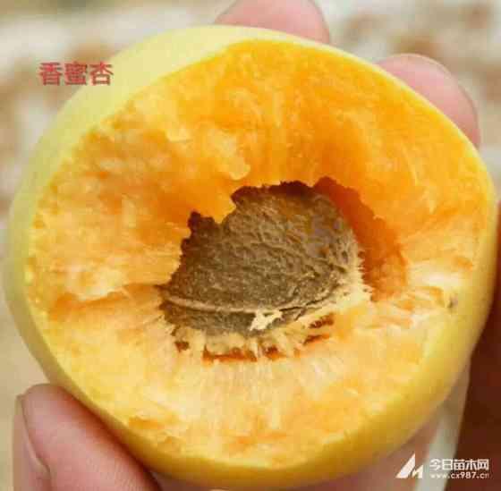 杏树苗批发基地 1年生杏树苗价格 产地直销报价