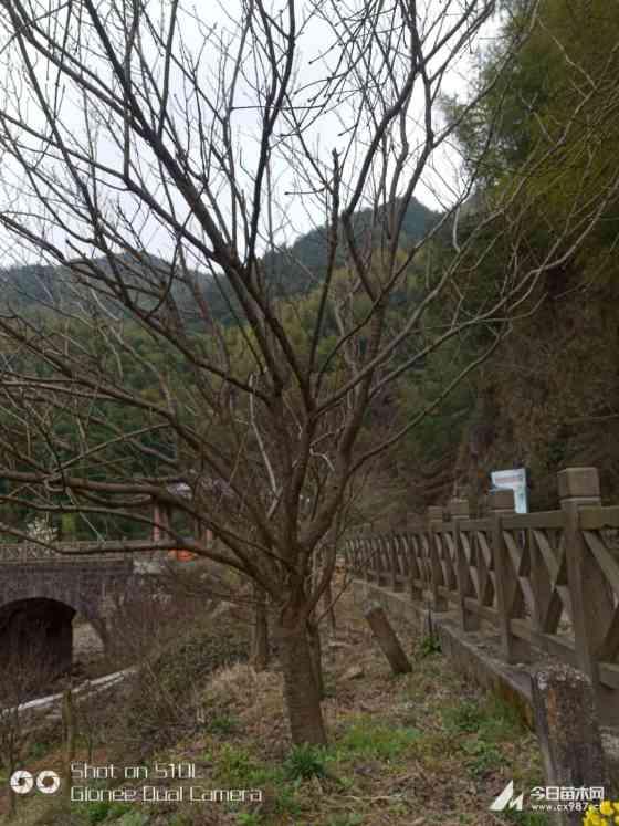 10公分樱花树价格 浙江10公分11公分樱花报价