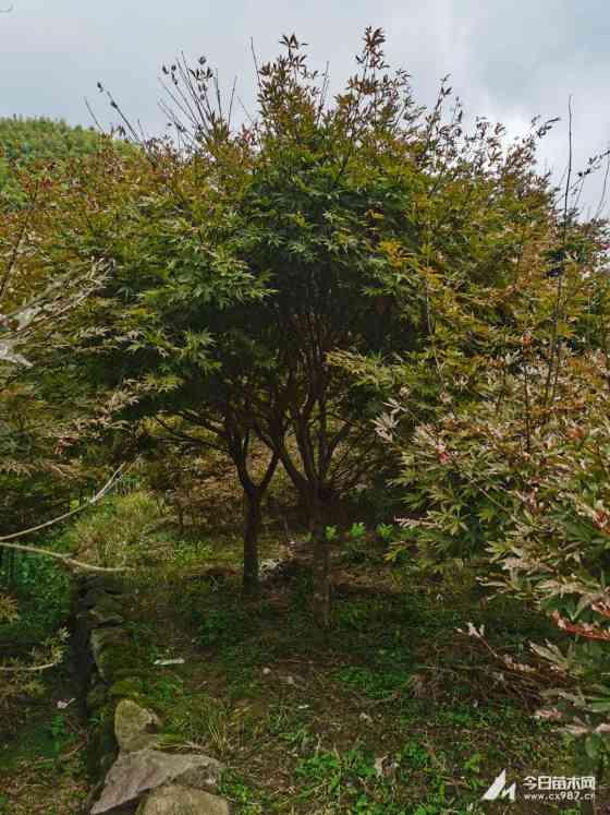 在哪买中国红枫 10至15公分中国红枫树基地批发