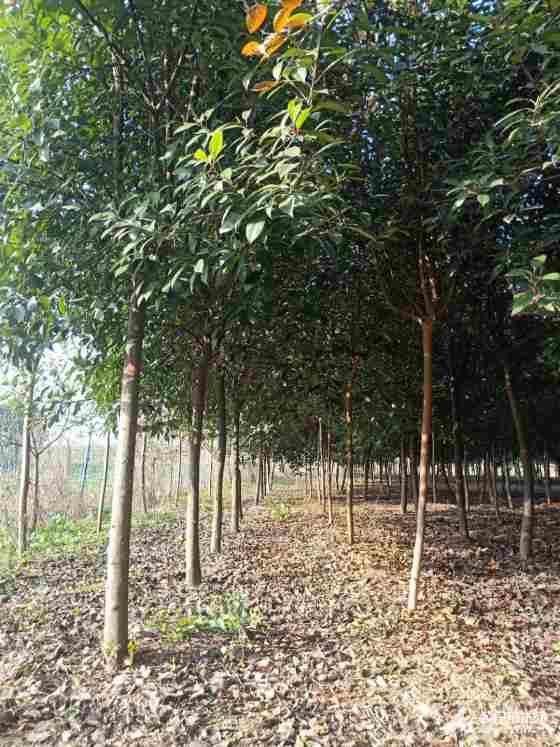 南阳高杆红叶石楠大量供应 苗圃直销高杆红叶石楠 价格行情