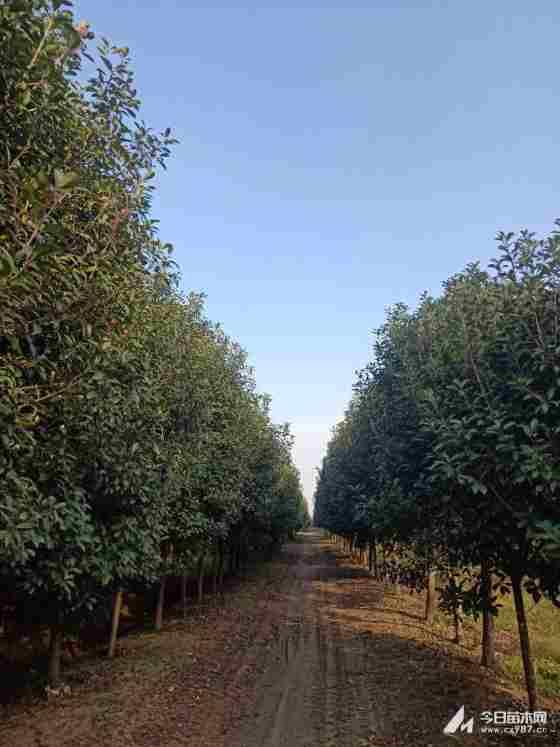 高杆红叶石楠澳门银河价格 河南高杆红叶石楠种植基地