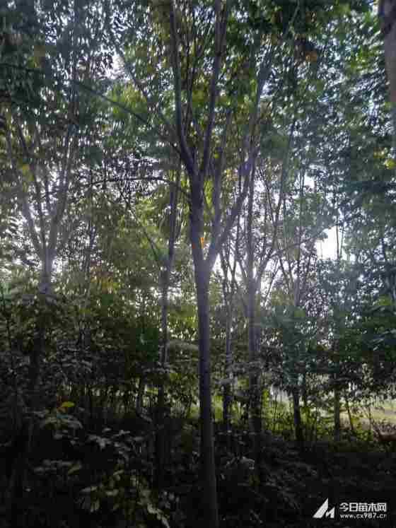 栾树树苗哪里有卖 栾树产地直销报价