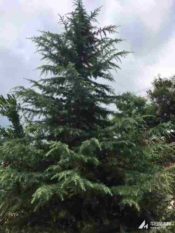 冠幅3米雪松多少钱一棵 基地出售雪松树苗