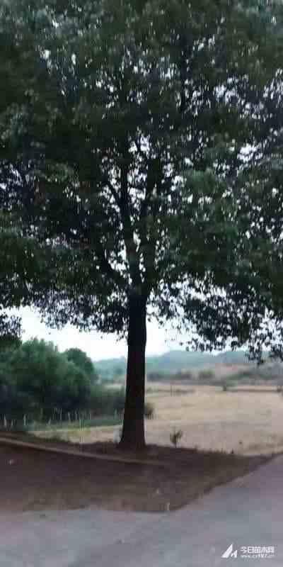 30公分大香樟低价处理 湖北香樟基地