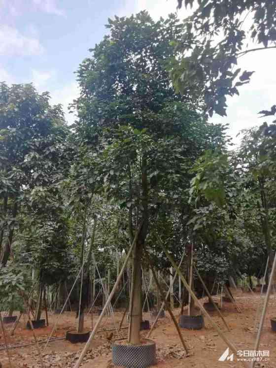 米径20公分澳洲火焰木价格   求购澳洲火焰木