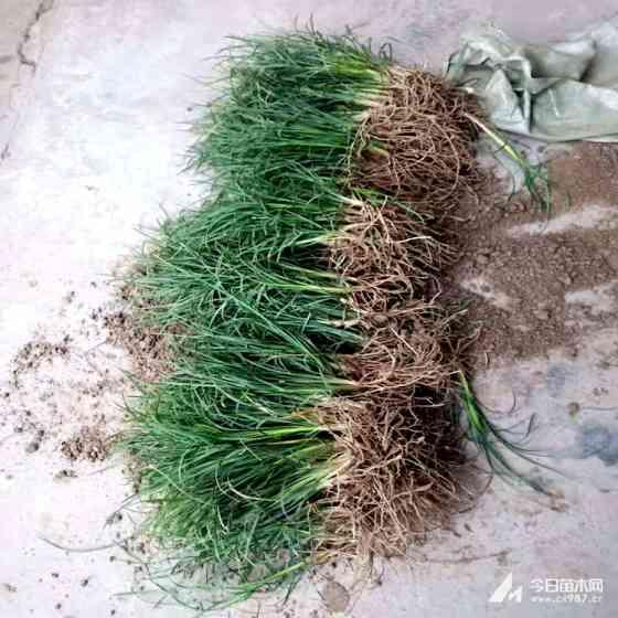 细叶麦冬草种植基地 细麦冬草批发采购