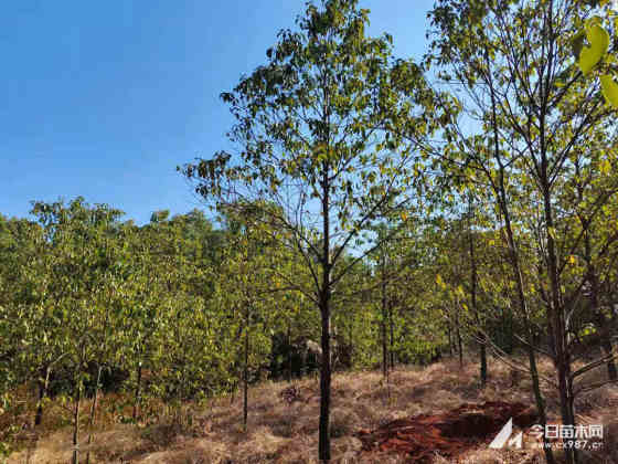 求購全冠香樟樹苗 10公分全冠香樟哪里有