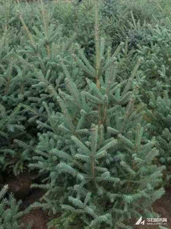 吉林云杉小苗   80公分高云杉小苗价格  1米高云杉小苗批发