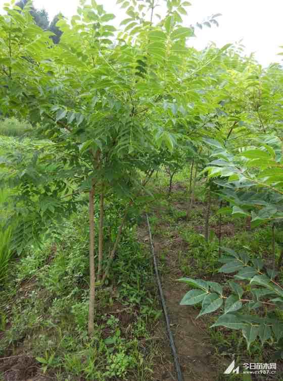 黄柏种植基地   黄菠萝树批发 哪里有卖黄菠萝小苗