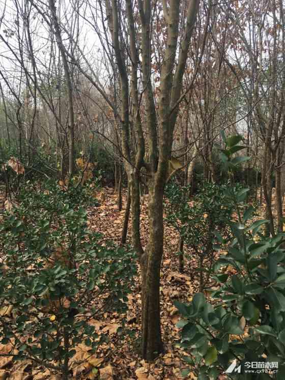 10公分木瓜树多少钱一棵  基地供应10公分木瓜树