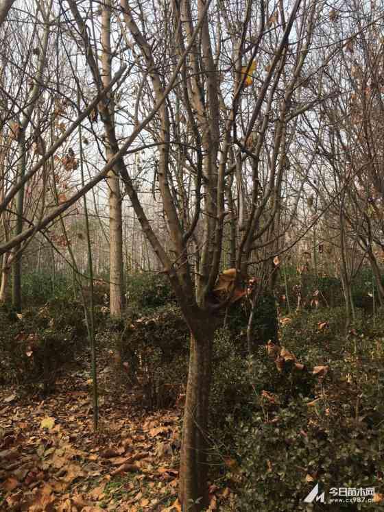 8公分木瓜树9公分木瓜树批发价格