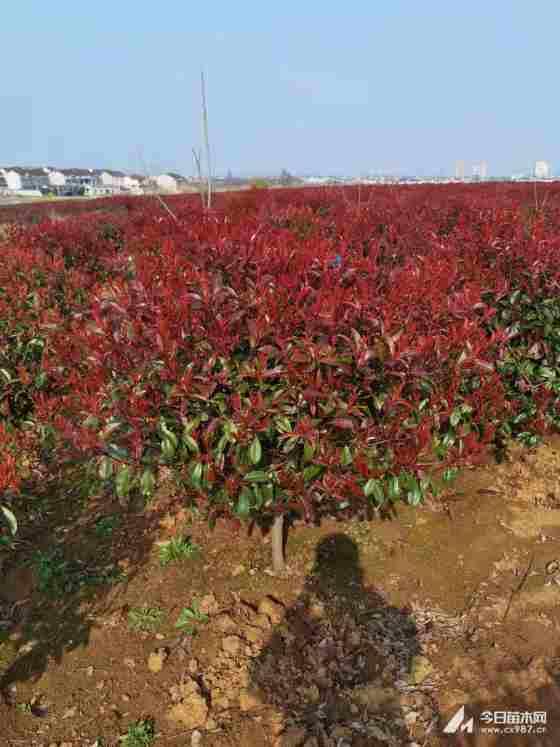 红叶石楠苗价格多少 红叶石楠苗价格表