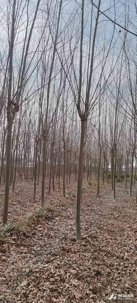 12公分法桐树多少钱一棵 江苏12公分法桐价格