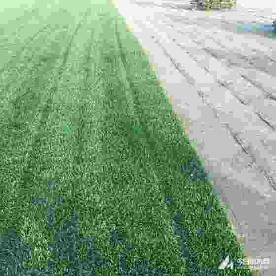 江蘇百慕大草坪 百慕大草坪多少錢一平方