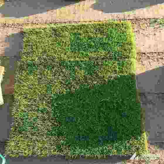 馬尼拉草坪價格 馬尼拉草坪多少錢一方