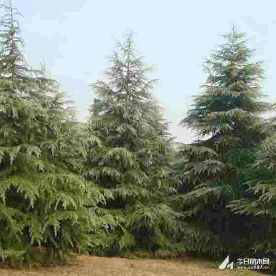 1米雪松多少錢一棵 1至6米雪松樹價格