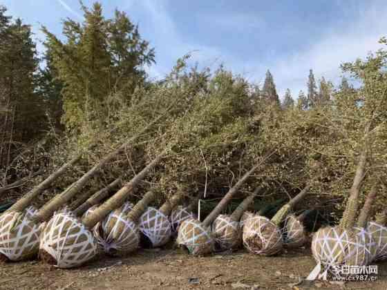 18公分19公分20公分银杏树报价表 江苏银杏树批发直销