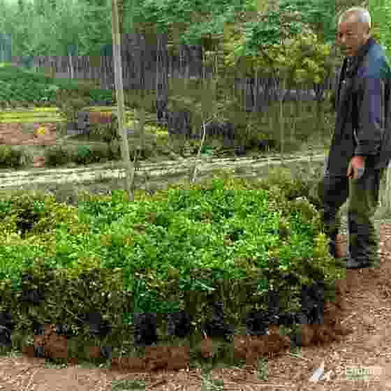 瓜子黃楊苗哪里有 10公分瓜子黃楊多少錢