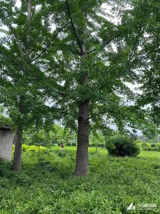 10公分银杏树价格 15公分银杏树苗多少一颗