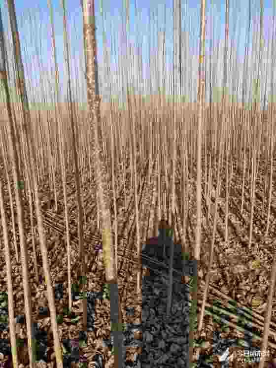 3公分杨树苗价格 江苏5公分杨树价格是多少