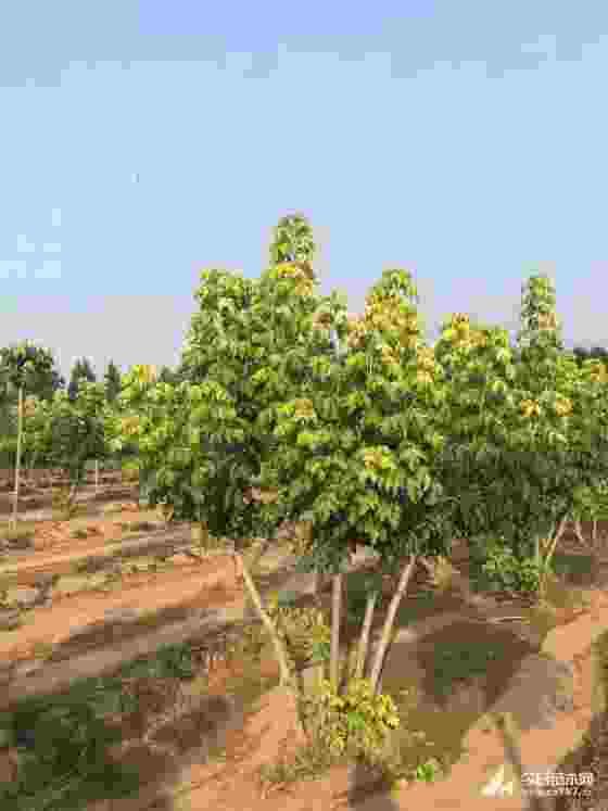 金叶复叶槭哪里有 5-8公分金叶复叶槭价格