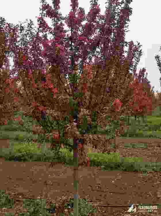 3公分绚丽海棠苗价格 5公分绚丽海棠多少钱
