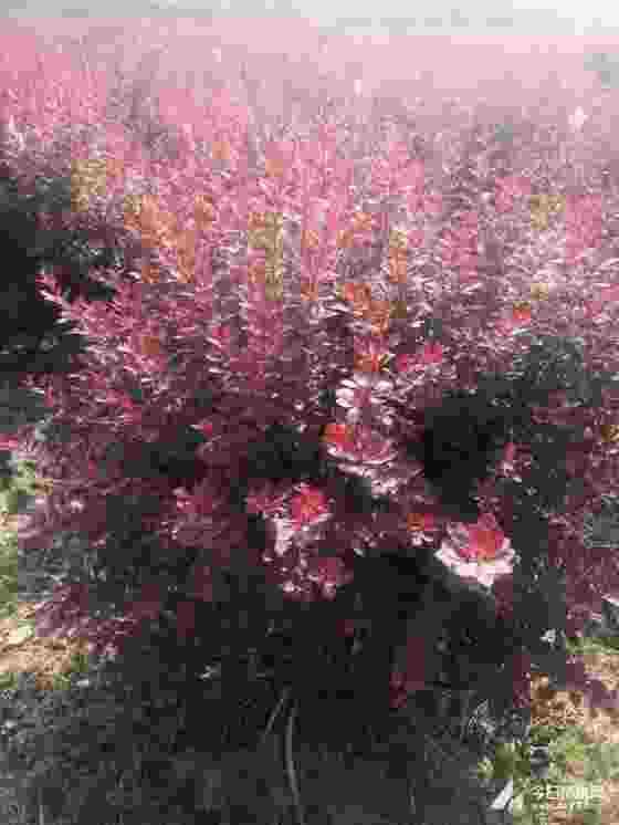 红叶小檗小苗价格 裸根红叶小檗多少钱一株