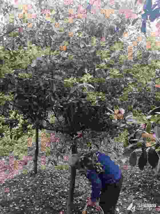 5公分高杆红叶石楠哪里有 6公分高杆红叶石楠价格