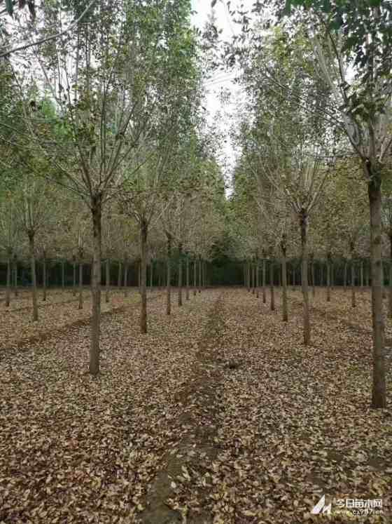 5公分白蜡树价格多少钱一棵