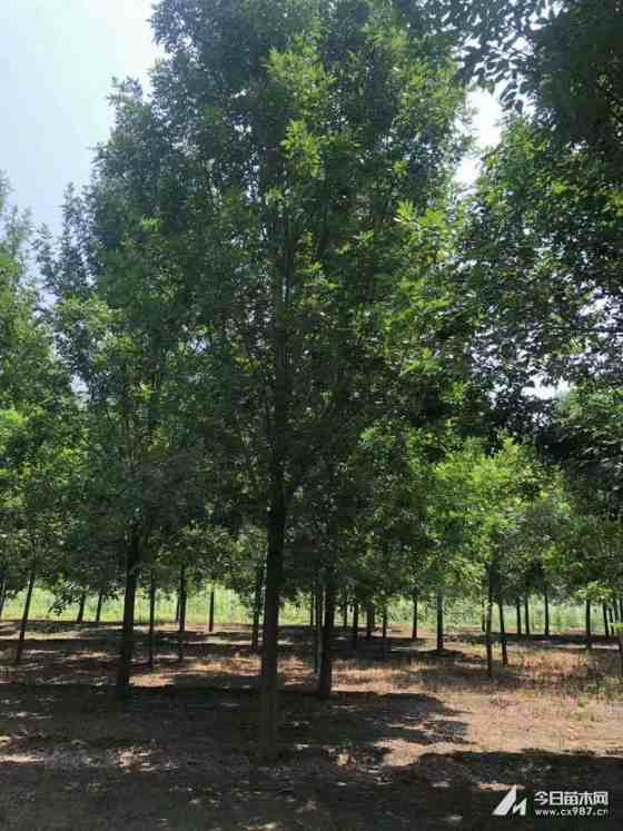 8公分白蜡价格多少10公分白蜡树哪里有卖