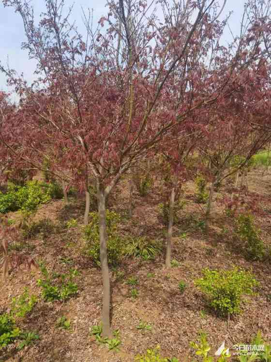 4公分红枫的价格 5公分红枫多少钱一棵