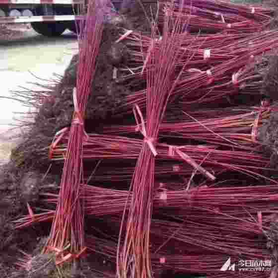 红瑞木苗多少钱一棵 高1米1米5红瑞木苗价格