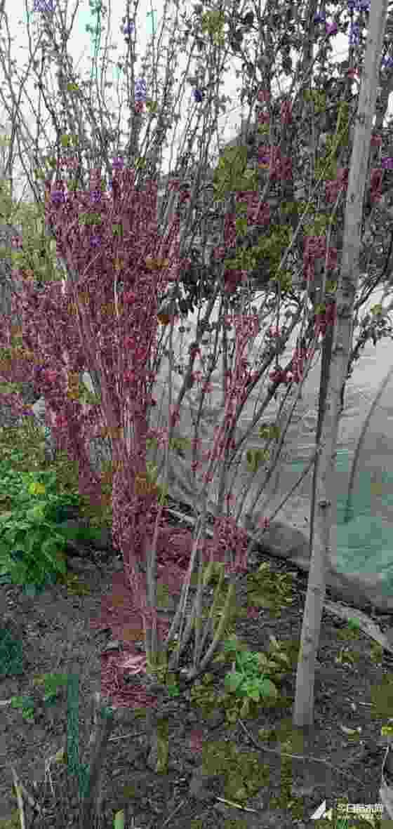 1.8米丛生紫荆价格 丛生紫荆都在哪里买
