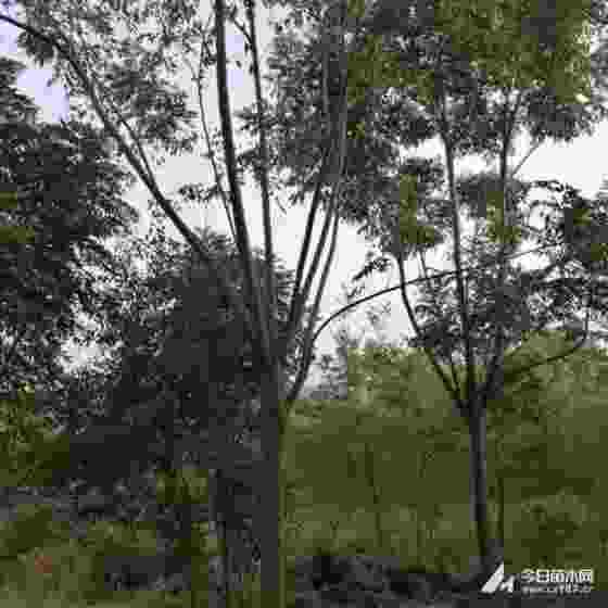12公分15公分黄山栾树哪里有卖的 河南黄山栾树报价