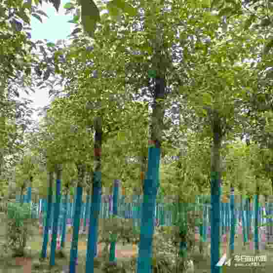 20公分香樟树报价多少 20公分香樟树哪里有