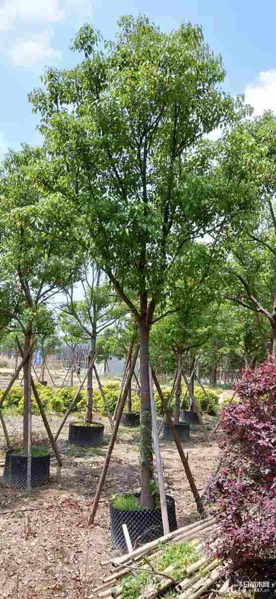 移植全冠香樟基地批发  10-12公分全冠香樟价格