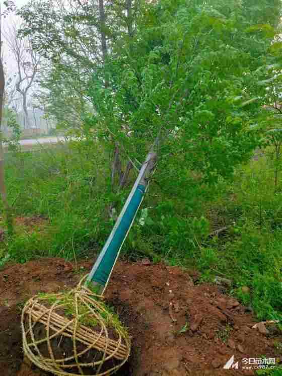 米径8公分水杉树苗价格多少钱一棵