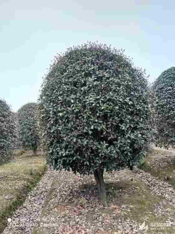 冠幅2米桂花树价格多少钱一棵