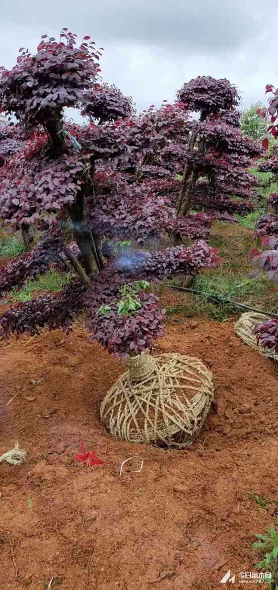 20公分造型紅花繼木樁價格 紅花繼木樁景求購