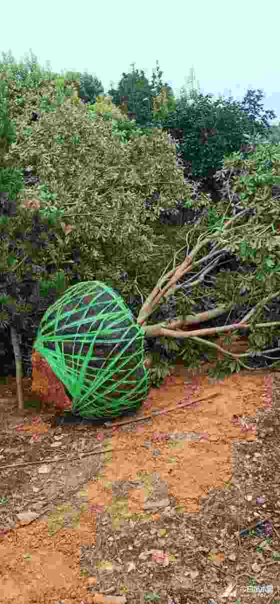 杨梅树价格 冠幅2米至3米杨梅树多少钱一颗