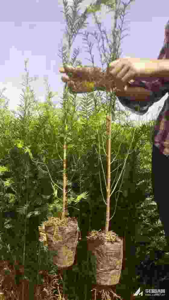 红豆杉小苗价格 南方红豆杉小苗批发
